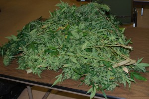 Southampton police released this image of the pot plants they said they found during a traffic stop this weekend.