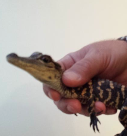20th alligator discovered on Long Island