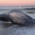 A dead whale washed up on Fire Island on Monday, June 29, 2015 (Photo courtesy of Twitter user @EmilyyyyAllison)