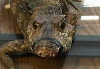 This three-foot-long crocodile was discovered in a box in Melville, officials said. (Suffolk SPCA)