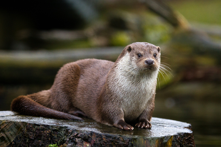 Long Island's Otter-ly Fantastic Critters